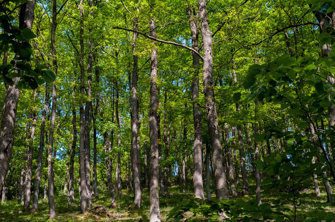 Wildnis Trail Eifel Buchenwald