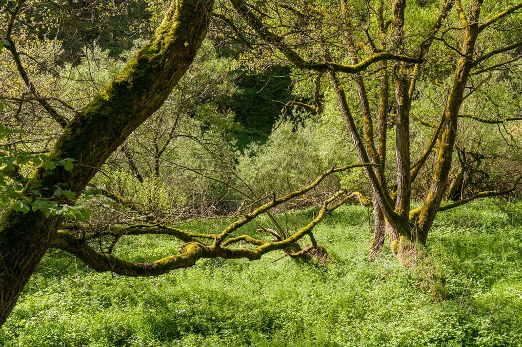 Wildnis Trail Eifel Jahrhundert Bäume