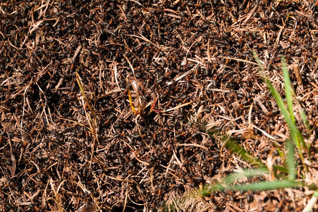 Wildnis Trail Eifel Flora und Fauna Ameisen