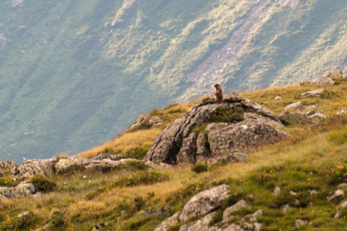 Murmeltier pfeift Laute im Schatten der Kempspitze