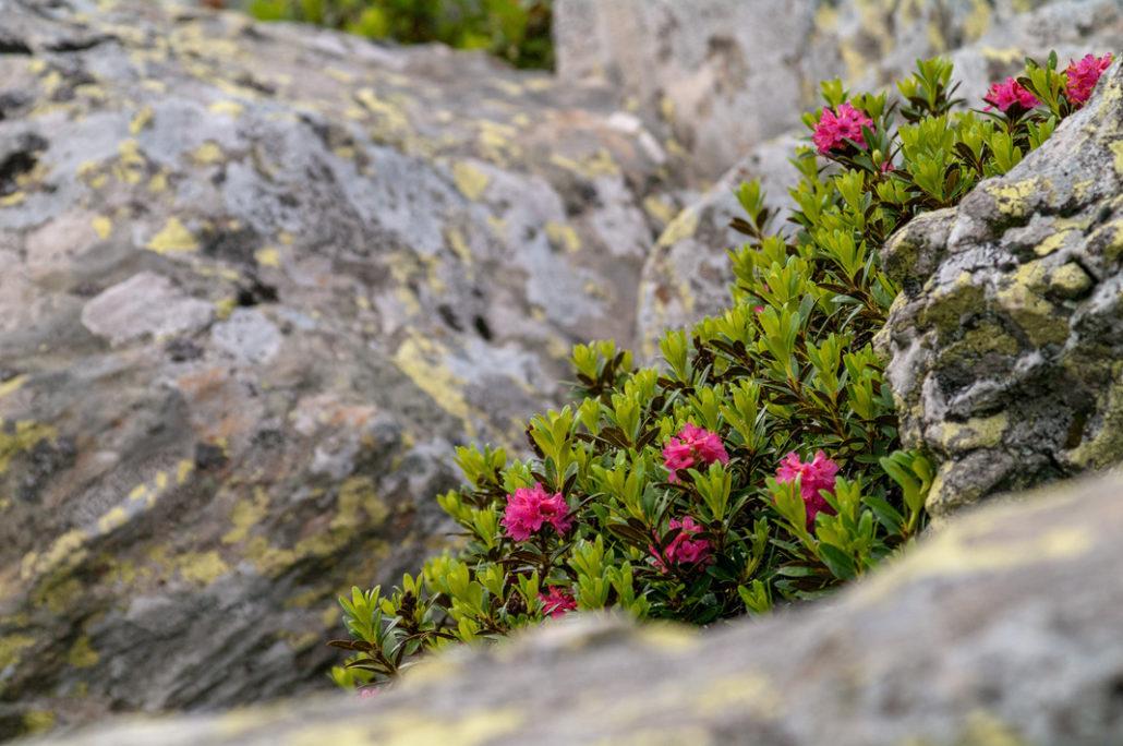 Flora und Faune zwischen den Felsen der Kempspitze