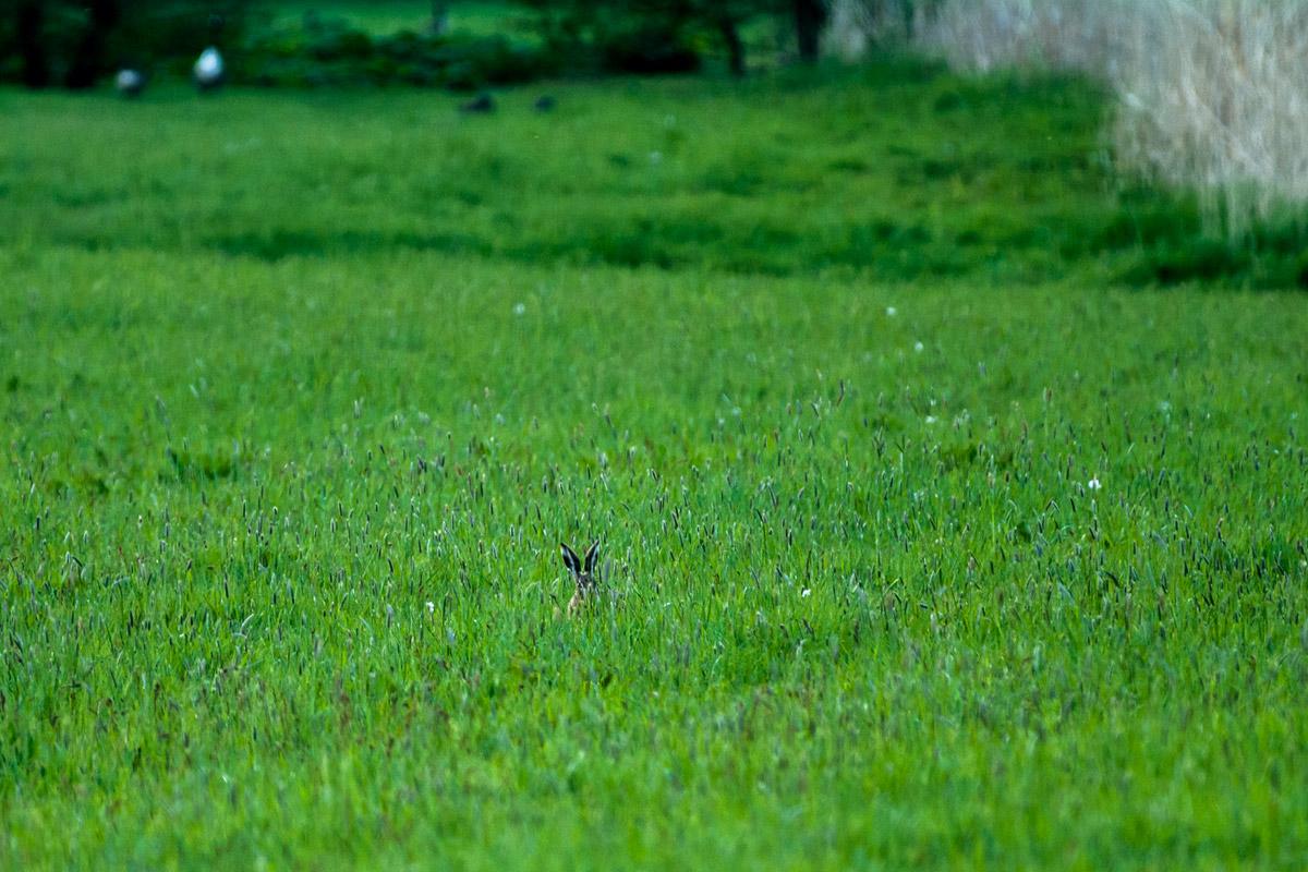 Foto Adventskalender - Osterhase im Feld