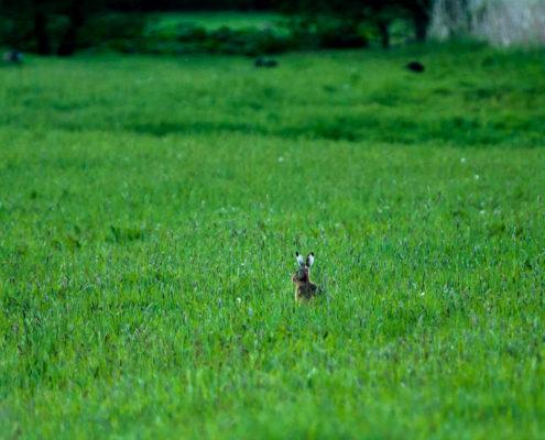 Foto Adventskalender - Oster Sonntag Hase im Feld