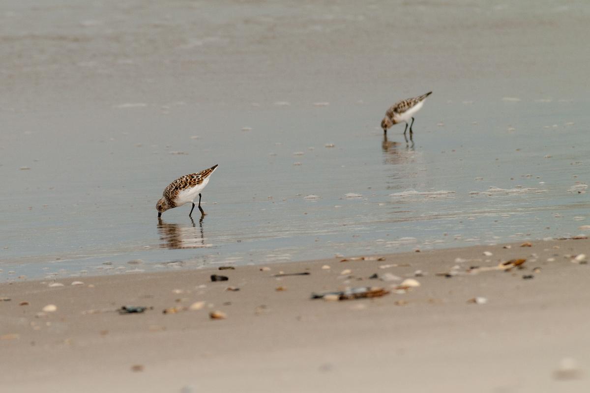 Foto Adventskalender, Strandläufer, Dänemark, Blavand