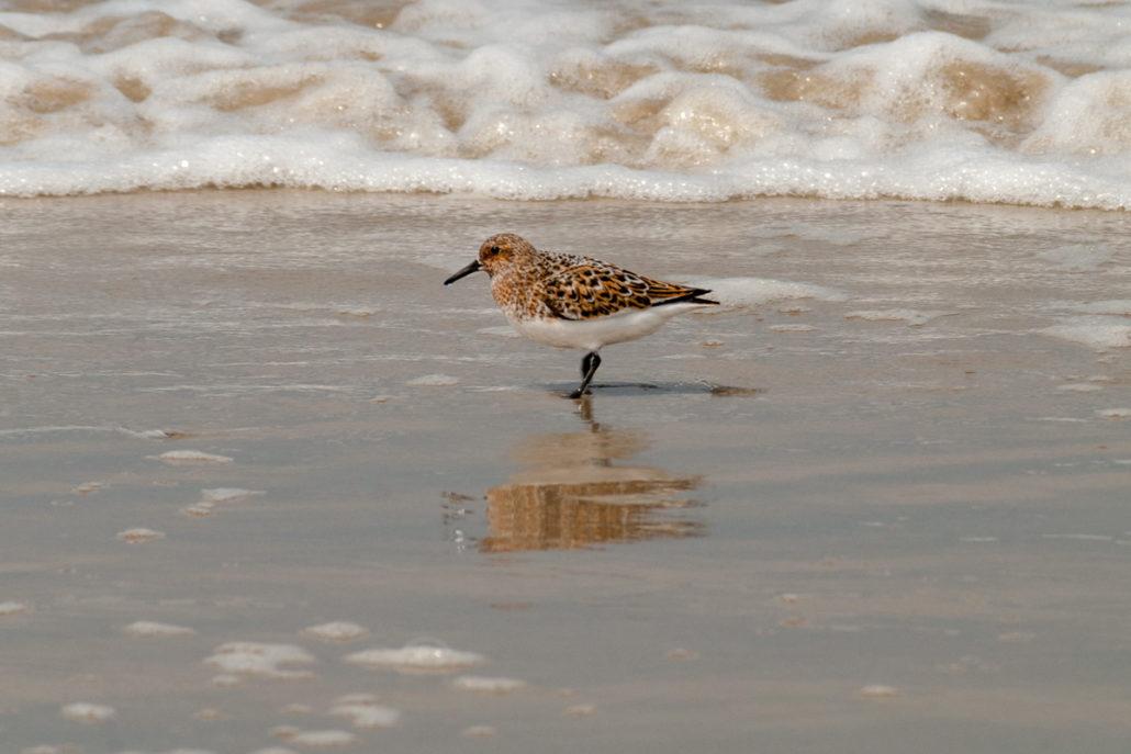 Foto Adventskalender, Strandläufer, Dänemark