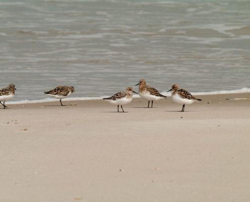 Foto Adventskalender, Strandläufer, Kolonie, Dänemark