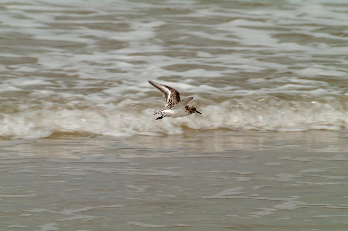 Foto Adventskalender, Strandläufer im Flug