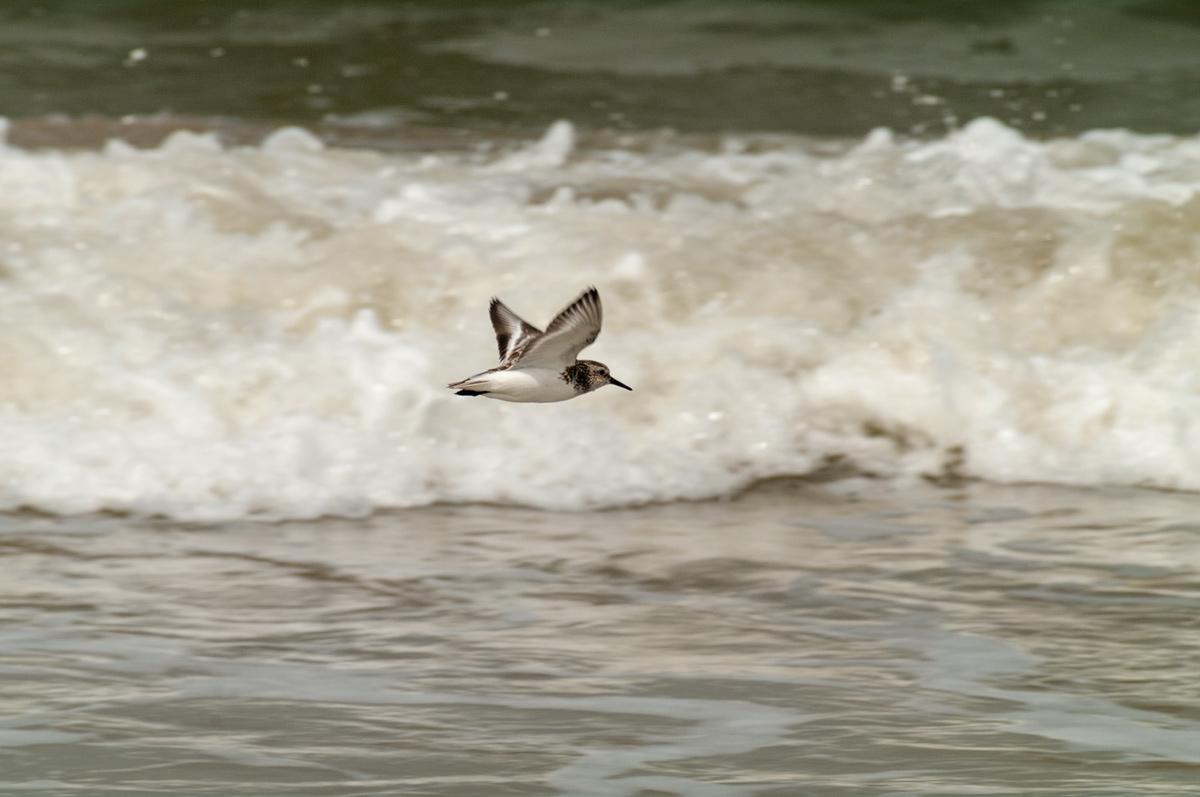 Foto Adventskalender, Strandläufer, Nordsee, Dänemark