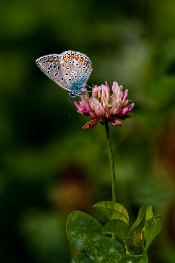 Foto Adventskalender, Schmetterling, Bläuling, Tirol, Italien