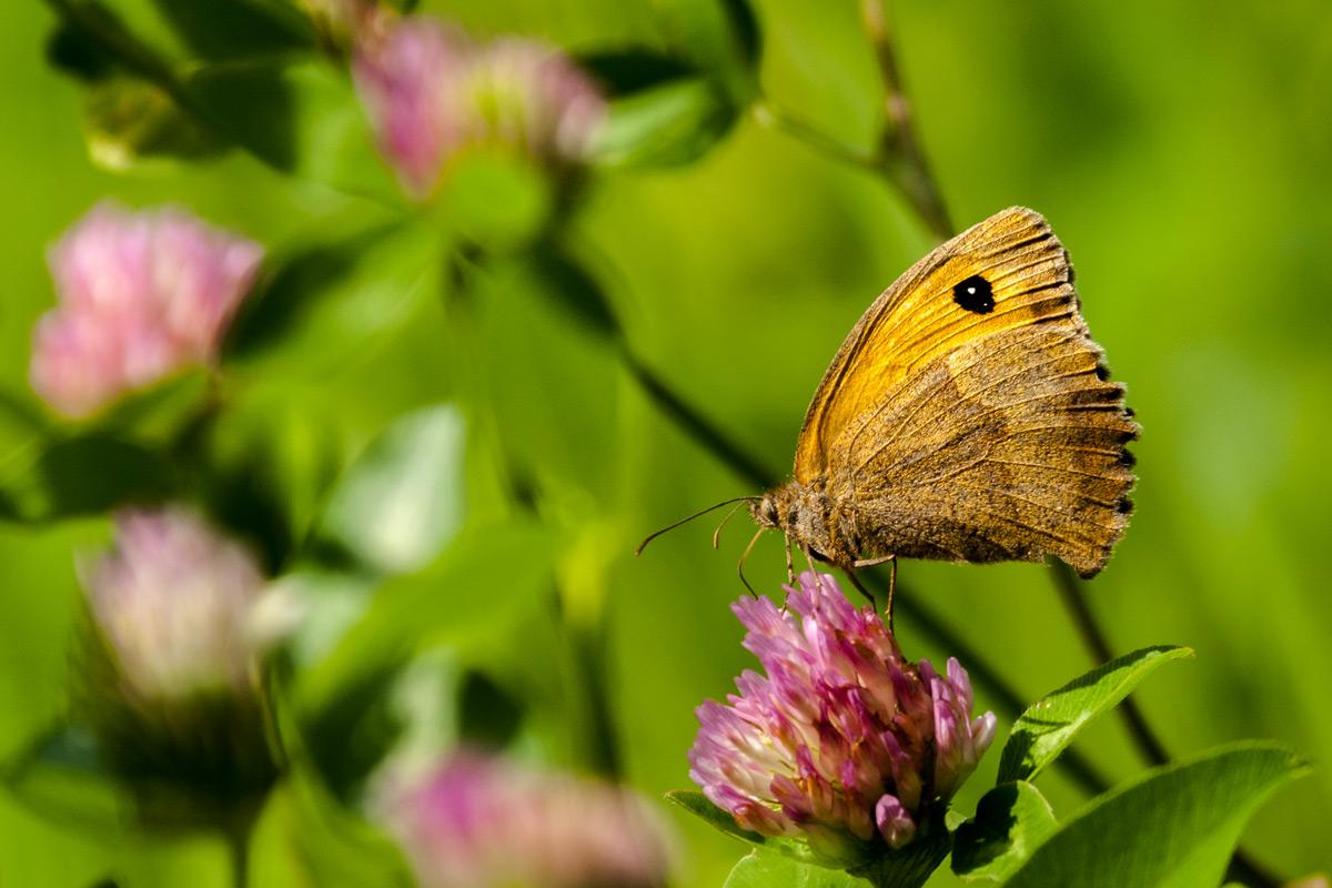 Foto Adventskalender,Großes Ochsenauge, Schmetterling, Tirol, Italien
