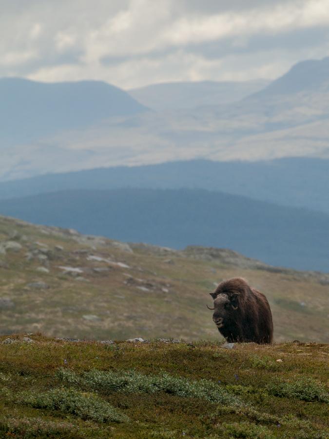 Foto Adventskalender, Moschusochsen, Dovrefjell National Park, Norwegen,