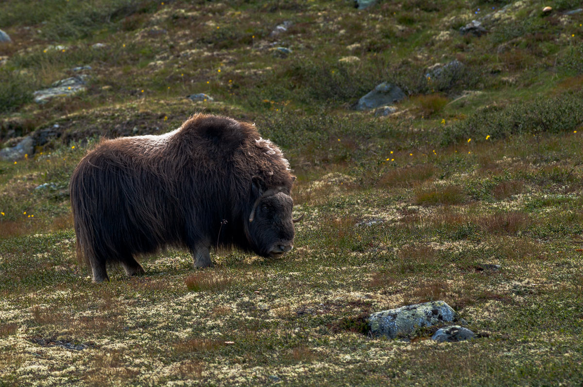 Foto Adventskalender, Moschusochsenbulle, Dovrefjell National Park, Norwegen,