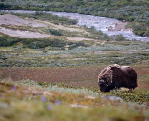 Foto Adventskalender, Moschusochsenherde, Dovrefjell National Park, Norwegen,